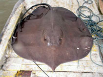Image of Urogymnus polylepis (Giant freshwater whipray)