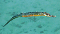 Image of Hippichthys cyanospilos (Blue-spotted pipefish)