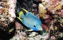 Image of Holacanthus bermudensis (Angelfish)