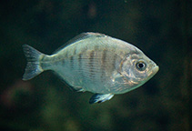 Image of Hyperprosopon argenteum (Walleye surfperch)