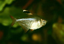 Image of Hyphessobrycon bentosi (Ornate tetra)