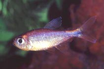 Image of Hyphessobrycon eos (Dawn tetra)