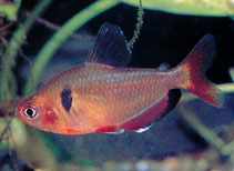 Image of Hyphessobrycon eques (Jewel tetra)