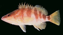 Image of Hypoplectrodes huntii (Redbanded perch)