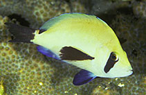 Image of Hypoplectrus providencianus (Masked Hamlet)