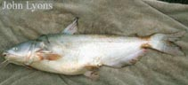 Image of Ictalurus furcatus (Blue catfish)