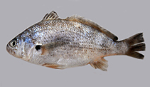 Image of Johnius majan (Majan croaker)