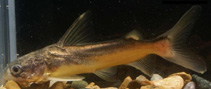 Image of Ketengus typus (Bigmouth sea catfish)