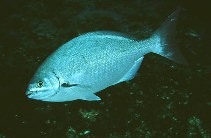 Image of Kyphosus sectatrix (Bermuda sea chub)