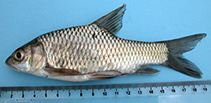 Image of Labeobarbus altianalis (Ripon barbel)