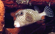 Image of Lactophrys bicaudalis (Spotted trunkfish)