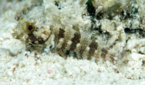 Image of Gobioclinus bucciferus (Puffcheek blenny)