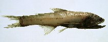 Image of Lampanyctus crocodilus (Jewel lanternfish)