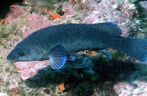 Image of Labrus merula (Brown wrasse)