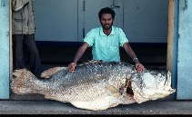 Image of Lates niloticus (Nile perch)