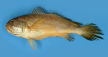 Image of Larimichthys pamoides (Southern yellow croaker)