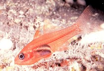 Image of Lachneratus phasmaticus (Phantom cardinalfish)