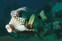 Image of Lactophrys triqueter (Smooth trunkfish)