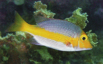 Image of Lethrinus atkinsoni (Pacific yellowtail emperor)