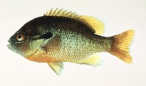 Image of Lepomis auritus (Redbreast sunfish)