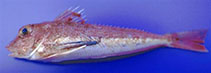 Image of Lepidotrigla cavillone (Large-scaled gurnard)