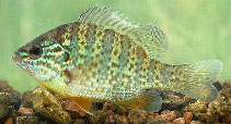 Image of Lepomis gibbosus (Pumpkinseed)