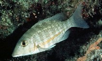 Image of Lethrinus obsoletus (Orange-striped emperor)