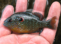 Image of Lepomis peltastes (Northern sunfish)