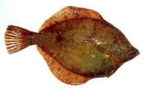Image of Lepidopsetta polyxystra (Northern rock sole)