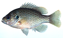 Image of Lepomis punctatus (Spotted sunfish)