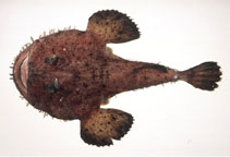 Image of Lophius litulon (Yellow goosefish)