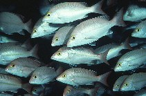 Image of Lutjanus adetii (Yellow-banded snapper)