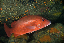 Image of Lutjanus agennes (African red snapper)