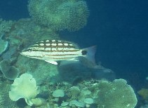 Image of Lutjanus decussatus (Checkered snapper)