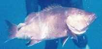 Image of Lutjanus dentatus (African brown snapper)