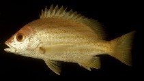 Image of Lutjanus dodecacanthoides (Sunbeam snapper)