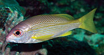 Image of Lutjanus xanthopinnis (Yellowfin snapper)