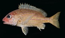 Image of Lutjanus notatus (Bluestriped snapper)