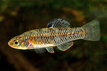 Image of Lucania parva (Rainwater killifish)