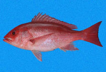 Image of Lutjanus peru (Pacific red snapper)