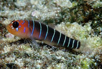 Image of Lythrypnus gilberti (Galapagos blue-banded goby)