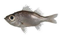 Image of Malakichthys griseus