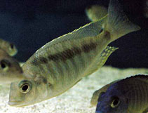 Image of Mylochromis guentheri