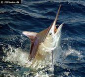 Image of Istiompax indica (Black marlin)
