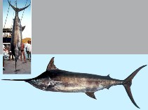 Image of Makaira nigricans (Blue marlin)