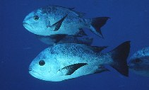 Image of Macolor niger (Black and white snapper)