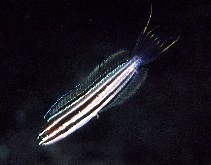 Image of Meiacanthus abditus (Sulu fangblenny)