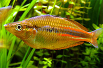 Image of Melanotaenia affinis (North New Guinea rainbowfish)