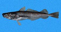 Image of Merluccius angustimanus (Panama hake)