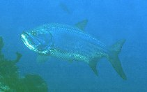 Image of Megalops atlanticus (Tarpon)